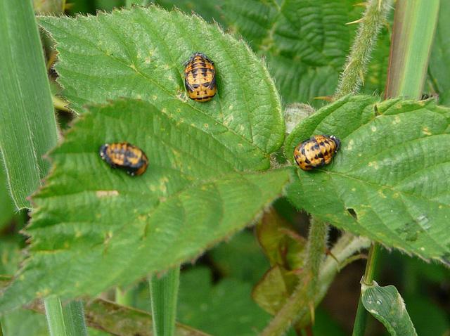 Ladybird Beetles Pupating