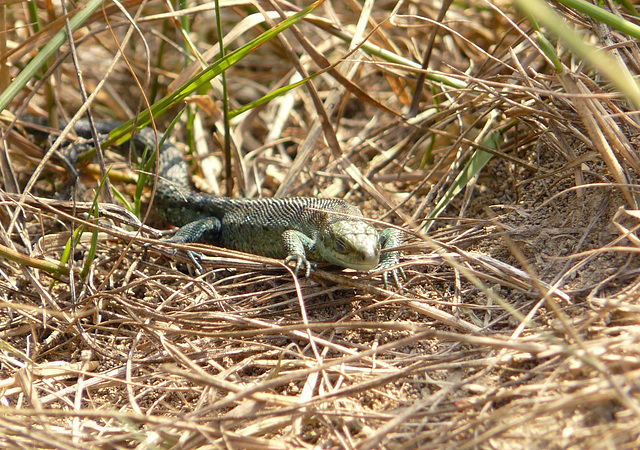 Common Lizard Baby 4