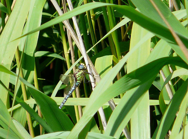 Hairy Dragonfly -Male