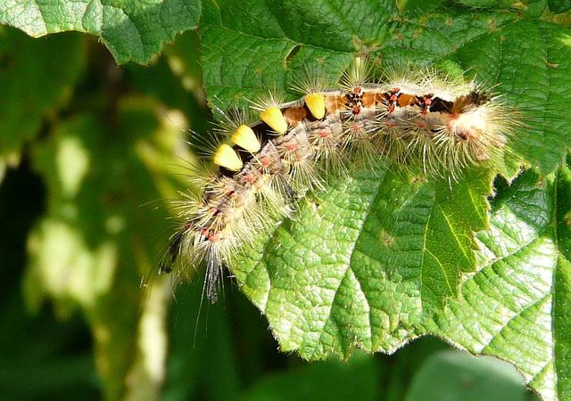 Vapourer Moth Caterpillar Also