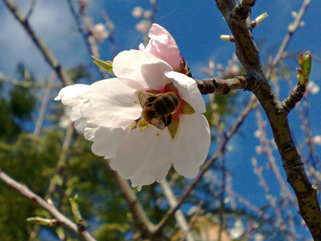 Flor de almendro con abeja.