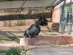 Gorillas (Nürnberg)