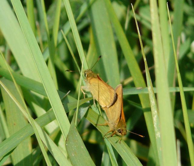 Small Skipper Mating