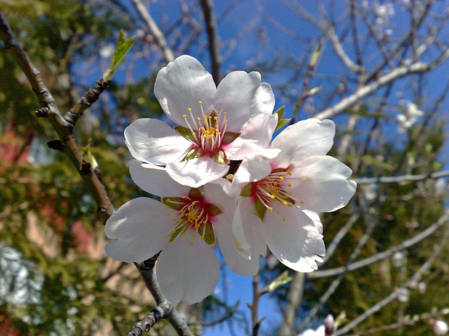 Flores de almendro.