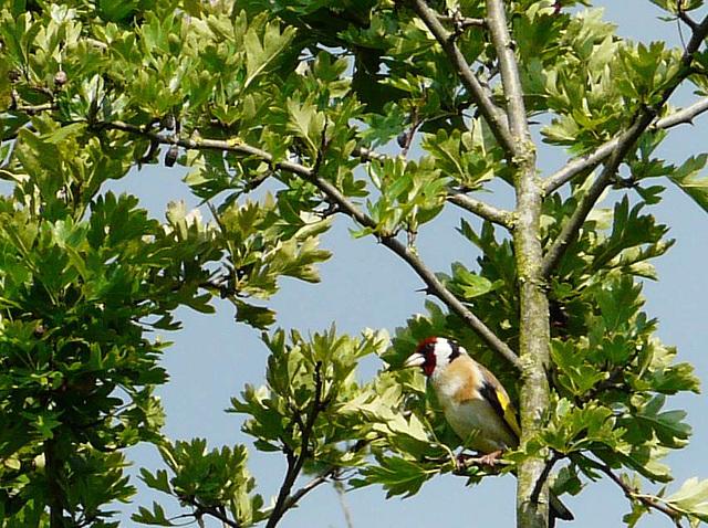 Goldfinch -Female