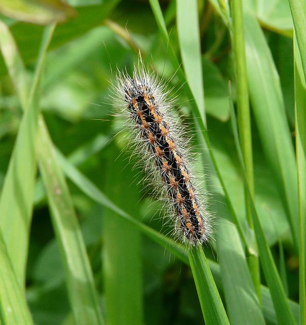 Reed Dagger Moth Caterpillar - Top