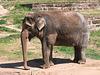Asiatische Elefantin (Nürnberg)
