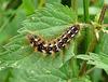 Knot Grass Caterpillar Top