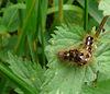 Knot Grass Caterpillar Side