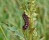 Knot Grass Caterpillar Side 2