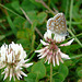 22 Bedgebury Pinetum Common Blue