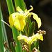 21 Bedgebury Pinetum Iris