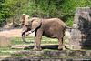 afrikanische Elefantin (Nürnberg)