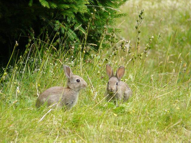 19 Bedgebury Pinetum Bunnies