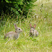 19 Bedgebury Pinetum Bunnies