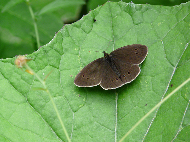 18 Bedgebury Pinetum Ringlet Butterfly -Female