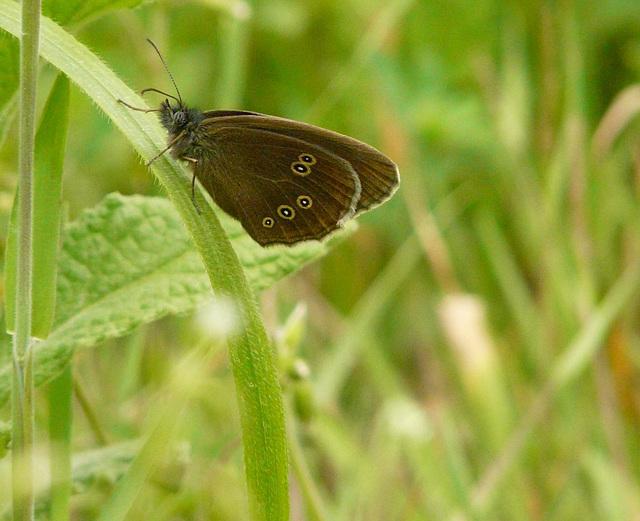 17 Bedgebury Pinetum Ringlet Butterfly -Male