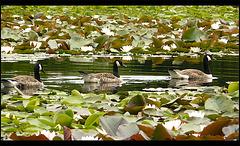 16 Bedgebury Pinetum Marshal's Lake Geese