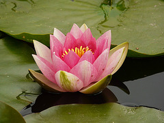 13 Bedgebury Pinetum Pink Water Lilly