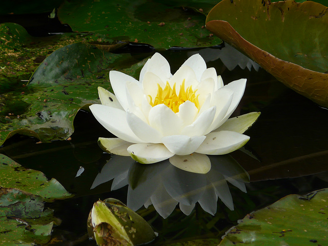 12 Bedgebury Pinetum White Water Lilly