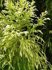 11 Bedgebury Pinetum Tree