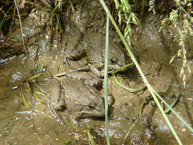 Common Frog Pair One