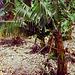 DSCN0685 Bananen