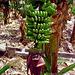 DSCN0689 Bananen mit Blüte