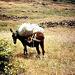 Esel bei Arure