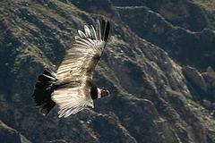 Los Incas interprètent : El condor pasa
