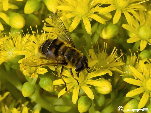Myathropa florea.