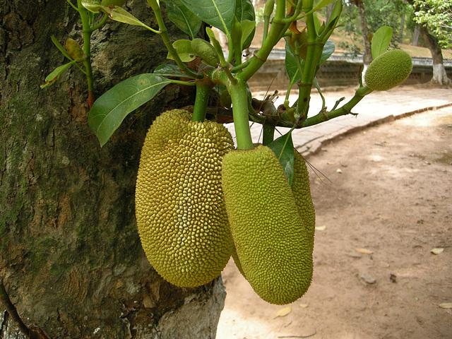 Yak-Frucht