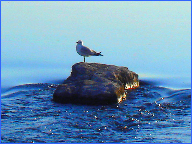 Mouette on the rock - Seagull sur la roche - Dans ma ville - Hometown. 4 mai 2008.