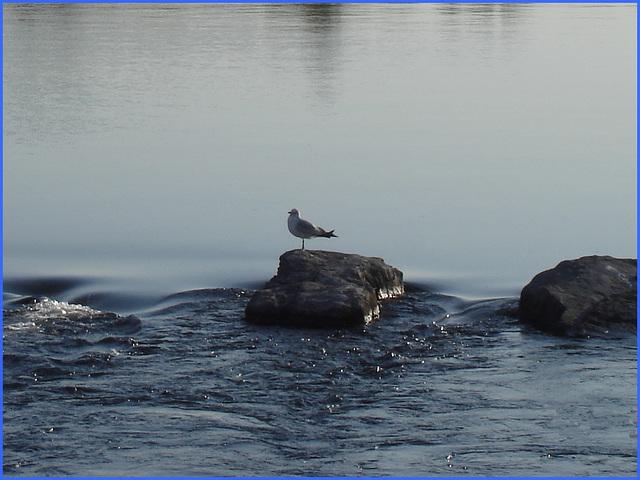 Mouette sur roche -  Seagull on the rock - Originale recadrée / Close-up of the original - Dans ma ville - Hometown. 10 mai 2008.