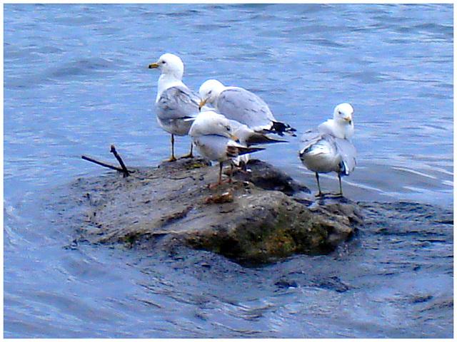 Quatuor de mouettes -  Seagulls quartet - Dans ma ville - Hometown. 4 mai 2008.