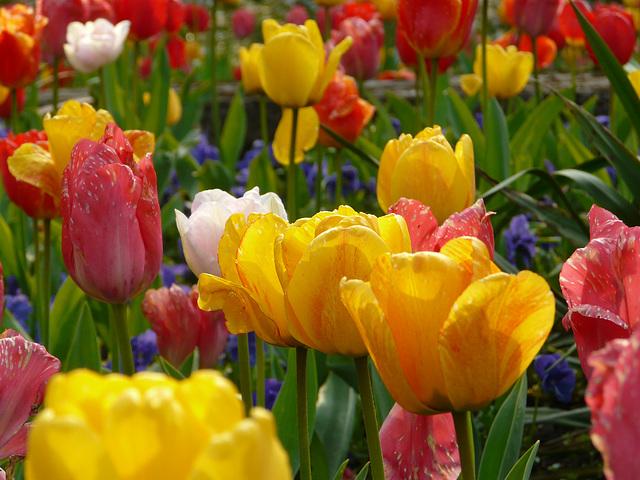 Tulip Forest