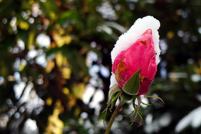 Rosebud 2