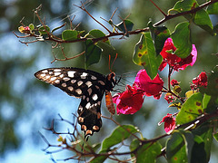 PB285360ac Butterfly Tasting the Nectar of Bougainvilleas Flowers