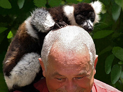 PC095750ac Nursed by a Lemur