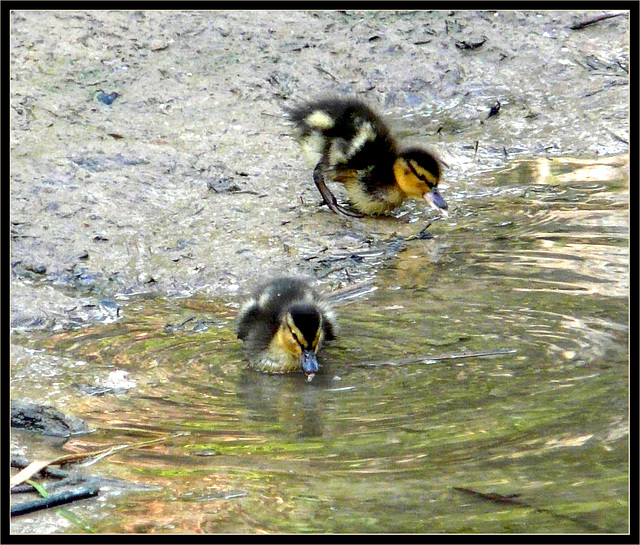 Mallard Chicks -Female