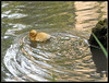 Mallard Chick Swimming