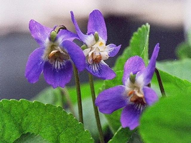 Arletty chante : Deux sous d'violettes