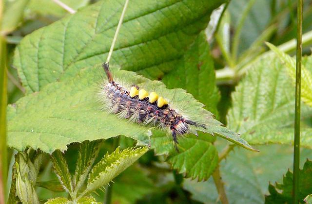 Vapourer Moth Caterpillar -Front