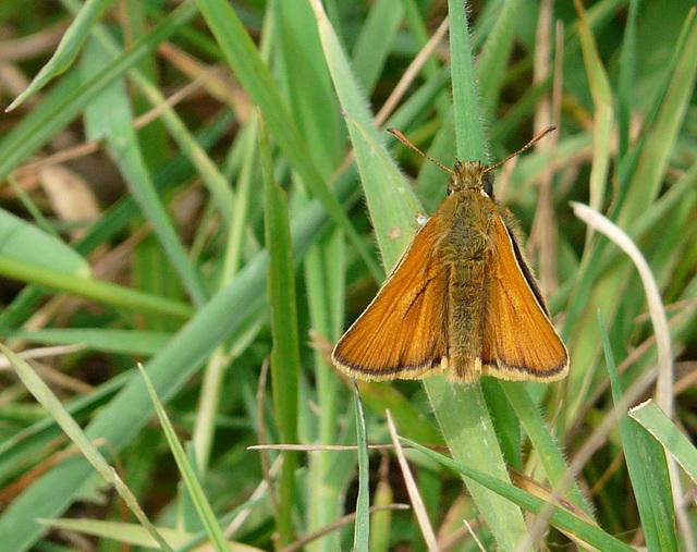 Small Skipper Butterfly -Male