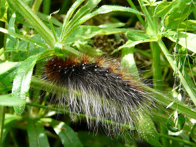 Garden Tiger Moth Caterpillar Top