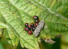 Gorse Shieldbug Babies and Eggs
