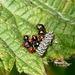 Gorse Shieldbug Babies and Eggs