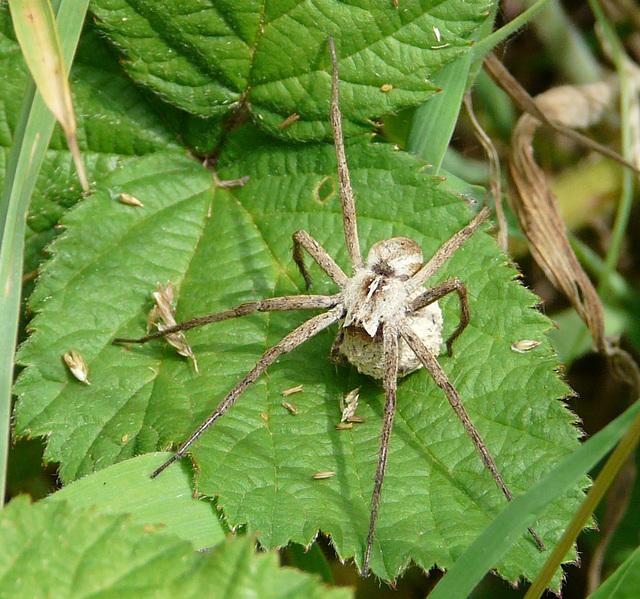 Nursery Web Spider with Eggsac