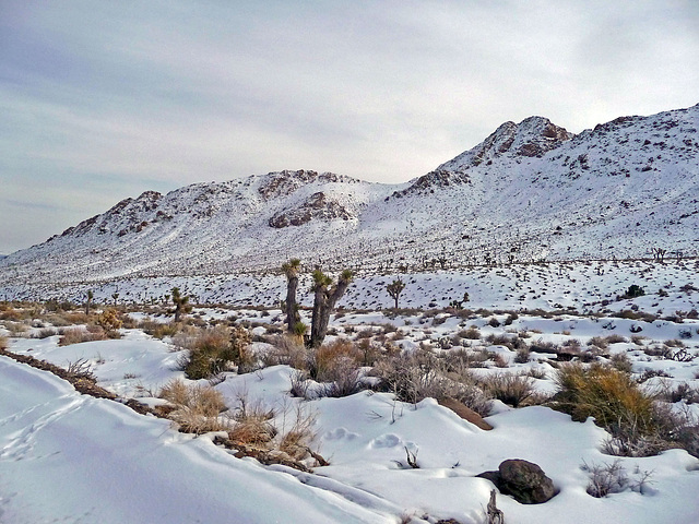 Nevada Snow (3475)