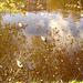 Canards sur miroir mouillé / Ducks on wet mirror  -  Ängelholm.  Suède / Sweden.